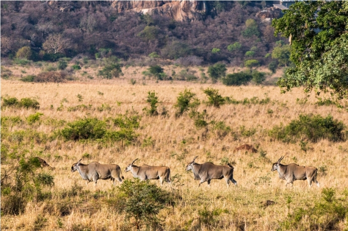 Common eland wild buffalo Kidepo National Park Uganda Africa (6)