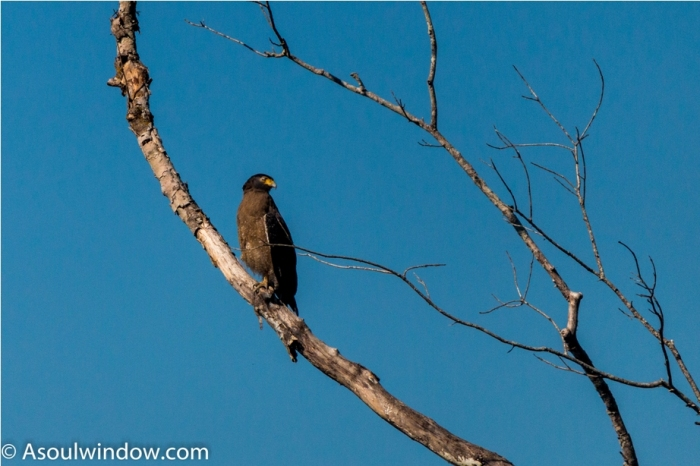 Crested Serpent Eagle Manas National Park Bodoland Assam India