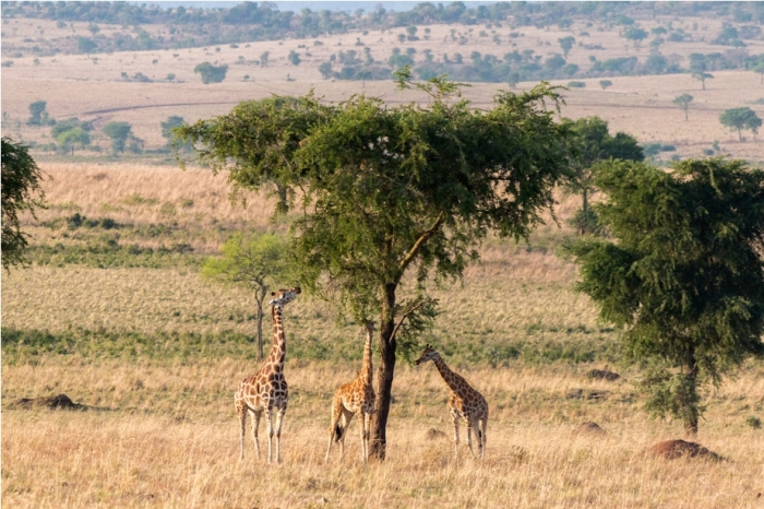 Giraffe Kidepo National Park Uganda Africa (12)