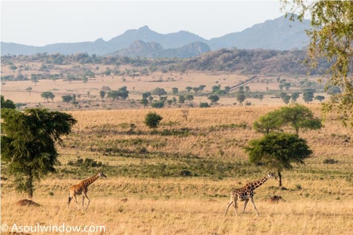 Giraffe Kidepo National Park Uganda Africa (20)