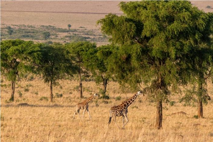 Giraffe Kidepo National Park Uganda Africa (8)