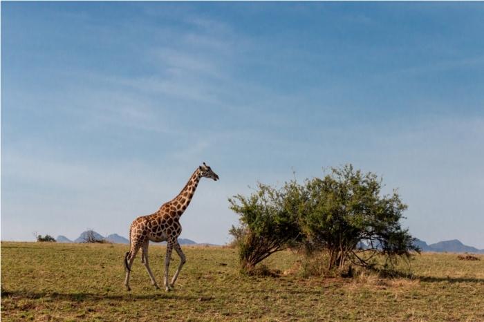 Girrafe Kidepo National Park Uganda Africa (46)