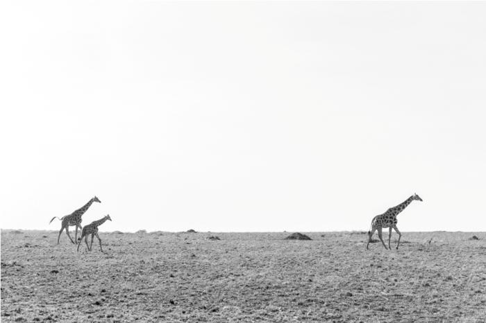 Girrafe Kidepo National Park Uganda Africa (56)