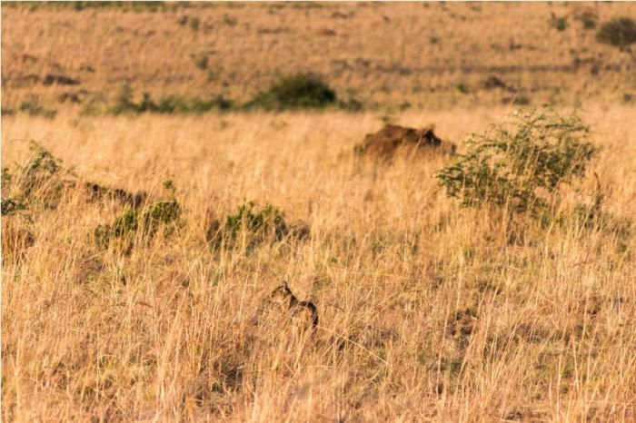 Jackals Kidepo National Park Uganda Africa (18)
