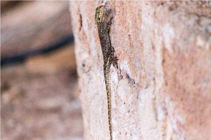 Lizard Kidepo National Park Uganda Africa (45)