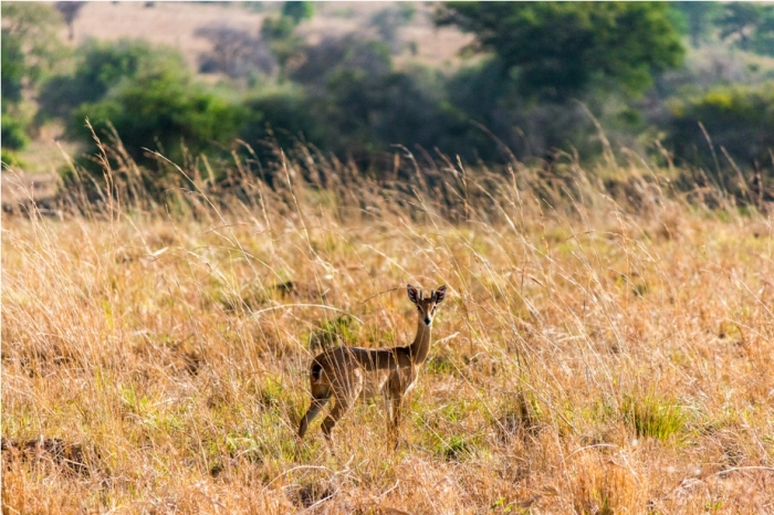 Oribi Kidepo National Park Uganda Africa (15)