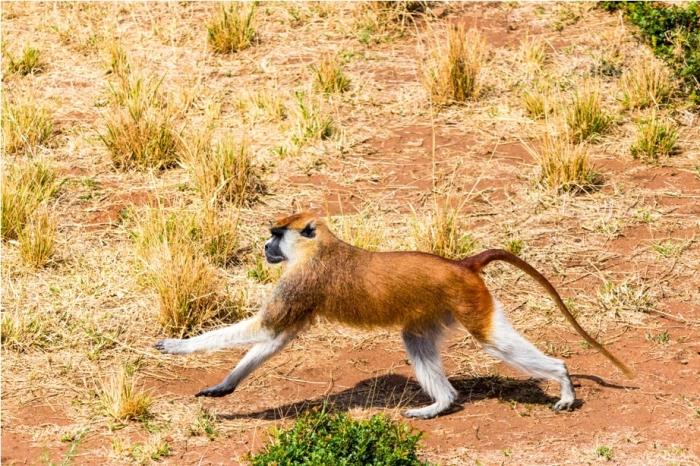 Patas Monkey Kidepo National Park Uganda Africa (1)