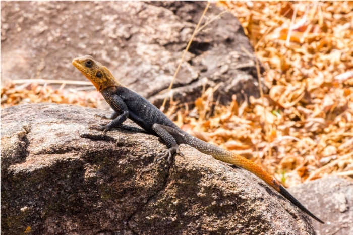Red headed agama lizard Kidepo National Park Uganda Africa (22)