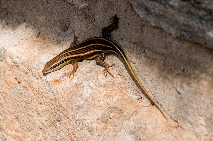 Reptile Lizard Kidepo National Park Uganda Africa (28)