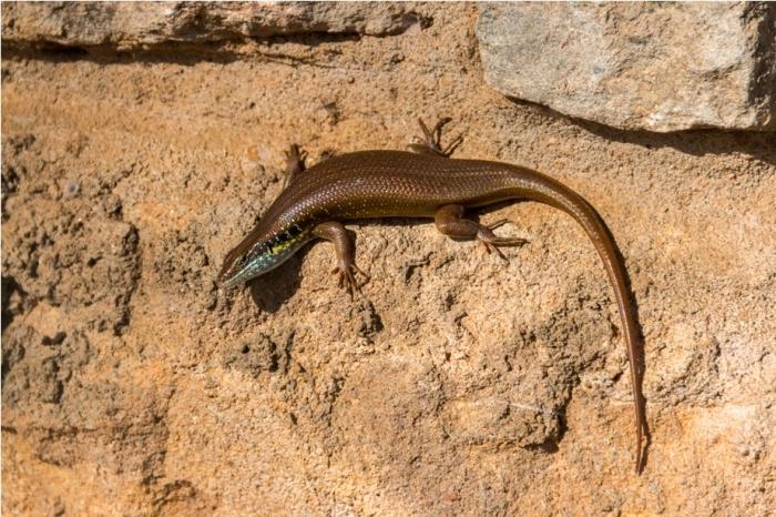 Reptile Lizard Kidepo National Park Uganda Africa (3)