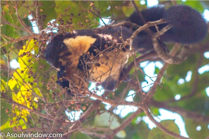 The black giant squirrel or Malayan giant squirrel Ratufa bicolor Manas National Park Bodoland Assam India (12)
