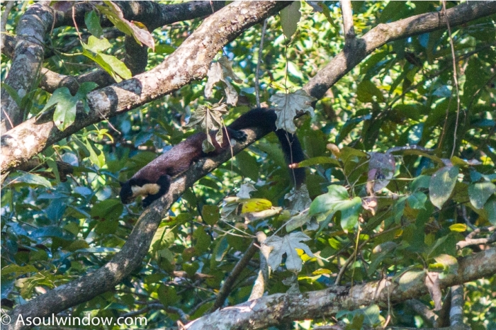 The black giant squirrel or Malayan giant squirrel Ratufa bicolor Manas National Park Bodoland Assam India (2)