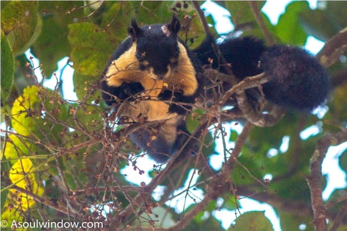 The black giant squirrel or Malayan giant squirrel Ratufa bicolorManas National Park Bodoland Assam India (11)