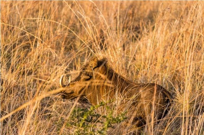 Warthog Kidepo National Park Uganda Africa (11)