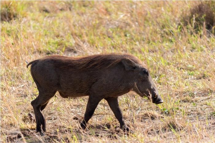 Warthog Kidepo National Park Uganda Africa (17)