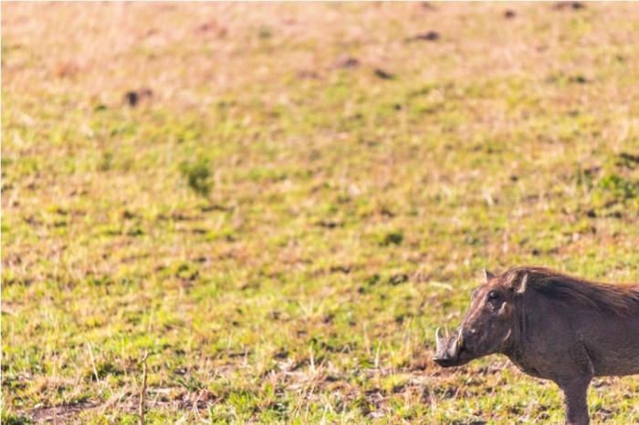 Warthog Kidepo National Park Uganda Africa (40)