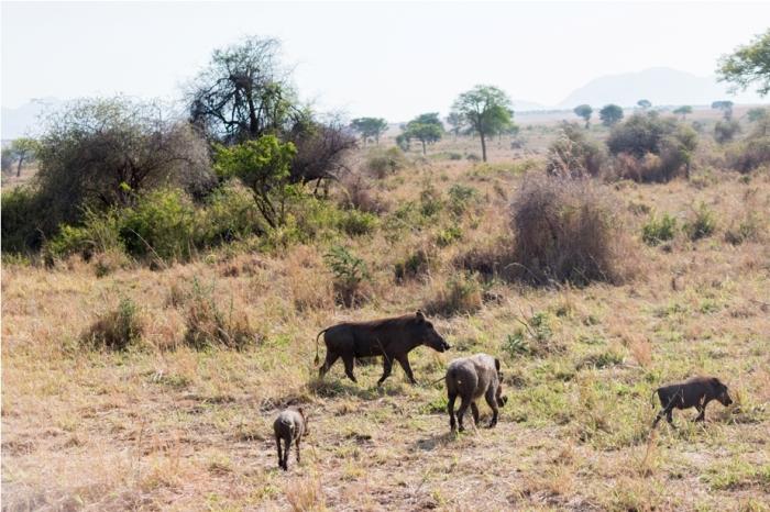 Warthog Kidepo National Park Uganda Africa