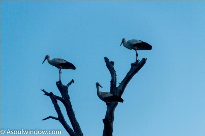 White stork Kidepo National Park Uganda Africa (50)