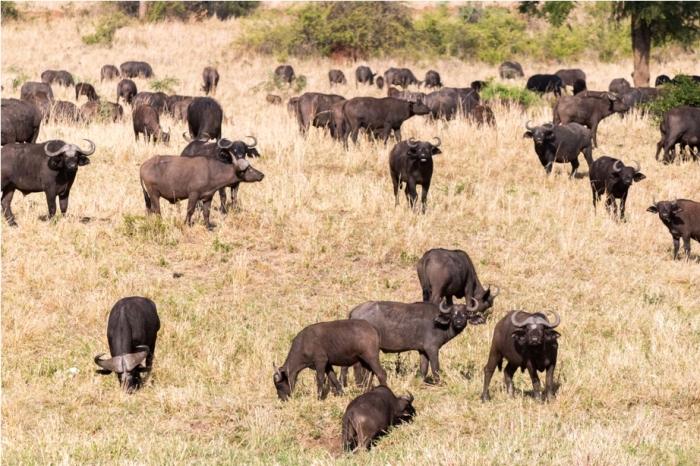 Wild Buffalo Kidepo National Park Uganda Africa (10)