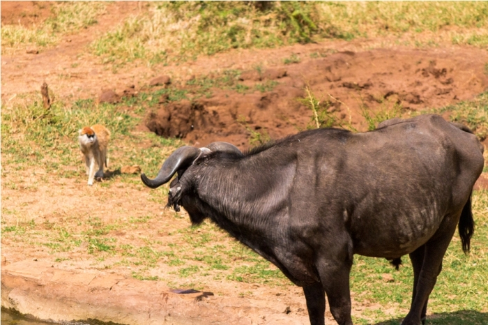 Wild Buffalo Kidepo National Park Uganda Africa (27)