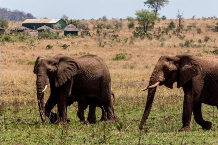 Wild Elephant Kidepo National Park Uganda Africa (19)