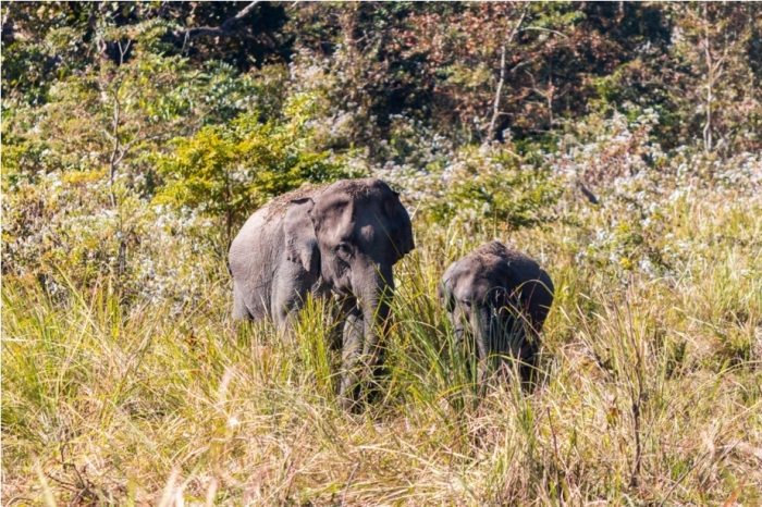 Wild Elephant Manas National Park Bodoland Assam India (36)