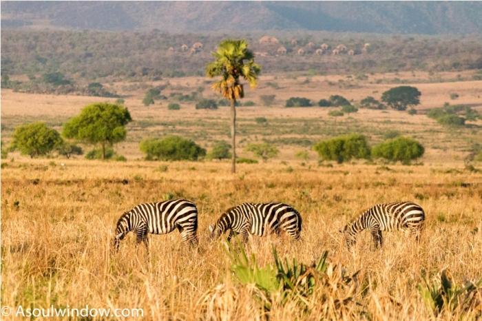 Zebra Kidepo National Park Uganda Africa (21)