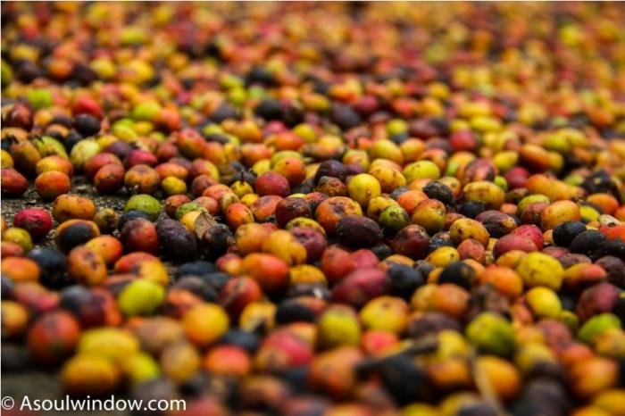 Coffee Coorg Kodagu Madikeri Karnataka India (3)